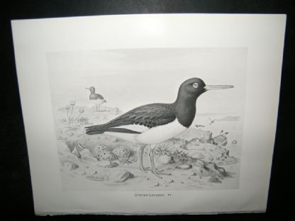 Frohawk 1898 Antique Bird Print. Oyster Catcher | Albion Prints